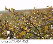 Карликовая круглолистная береза Betula rotundifolia