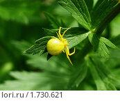Желтый паук на зеленом листе купавки