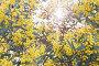 Австралийская акация на фоне солнца, фото № 4551597, снято 17 июля 2010 г. (c) Кропотов Лев Аркадьевич / Фотобанк Лори