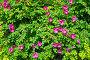 Фон с цветущим розовым шиповником, фото № 4753729, снято 11 июня 2013 г. (c) Елена Коромыслова / Фотобанк Лори