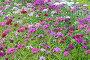 Турецкая гвоздика ,садовые декоративные цветы (лат. Diánthus barbátus). Фокус на переднем плане, фото № 6001985, снято 8 ноября 2014 г. (c) Svet / Фотобанк Лори