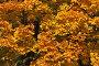 Красивый яркий фон из желтых листочков клена, фото № 6469521, снято 30 сентября 2014 г. (c) lana1501 / Фотобанк Лори