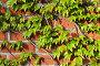 Дикий виноград на старинной кирпичной стене, фото № 6546817, снято 21 января 2014 г. (c) Сергей Трофименко / Фотобанк Лори