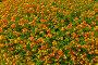 Растительный фон из цветущей лантаны (лат. Lantana camara L.), фото № 6556401, снято 26 сентября 2014 г. (c) Виктория Катьянова / Фотобанк Лори