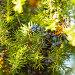 Ягоды можжевельника на ветке, фото № 6574437, снято 10 октября 2014 г. (c) Оксана Ковач / Фотобанк Лори