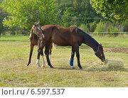 Две прекрасные молодые лошади на лужайке, фото № 6597537, снято 22 августа 2014 г. (c) Валерия Попова / Фотобанк Лори