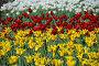 Желтые, красные и белые тюльпаны на клумбе весной, фото № 6635061, снято 20 мая 2010 г. (c) lana1501 / Фотобанк Лори