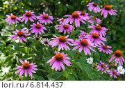 Цветы эхинацеи крупным планом, фото № 6814437, снято 19 декабря 2014 г. (c) FotograFF / Фотобанк Лори