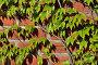 Дикий виноград на старинной кирпичной стене, фото № 6861645, снято 21 января 2014 г. (c) Сергей Трофименко / Фотобанк Лори