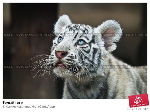 Белый тигр фотограф ксения крылова