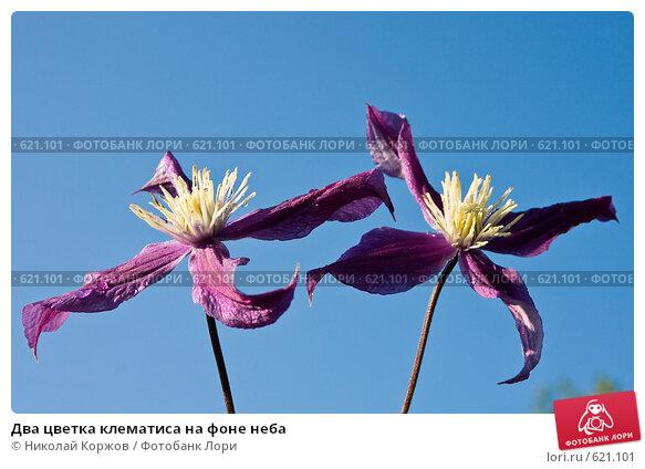 Два цветка клематиса на фоне неба, фото 621101, снято 7 сентября 2008 г. (c) Николай Коржов / Фотобанк Лори.