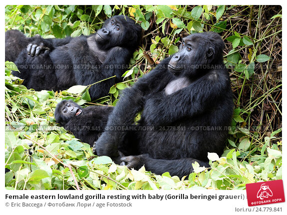 Gorilla and caretakers intimate moment wins   ABC News