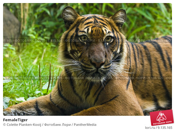 Female tiger