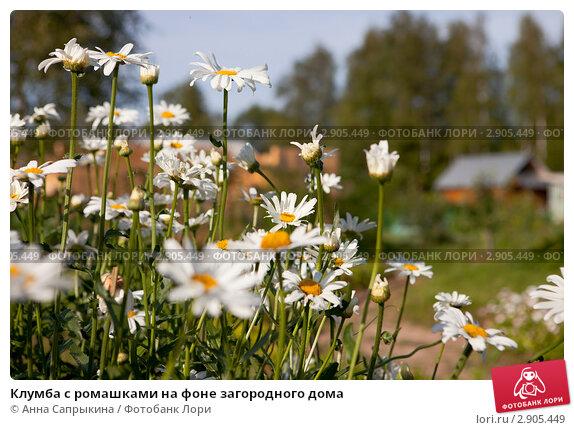 Клумба с ромашками на фоне загородного дома, фото № 2905449, снято 31 июля 2009 г. (c) Анна Сапрыкина / Фотобанк Лори