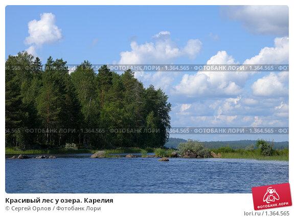 Красивый лес у озера карелия фото