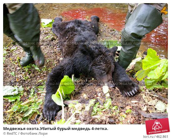Медвежья охота.Убитый бурый медведь 4-летка., фото 462861.
