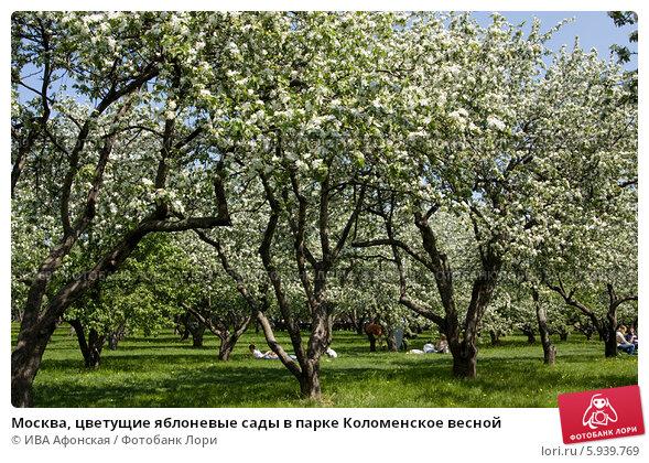 Яблоневый сад сам