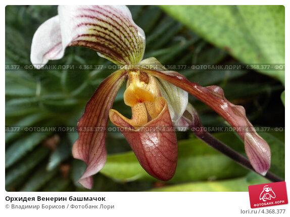 Венерин башмачок орхидея все об уходе