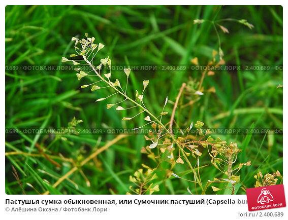 Пастушья сумка обыкновенная, или Сумочник пастуший (Capsella...