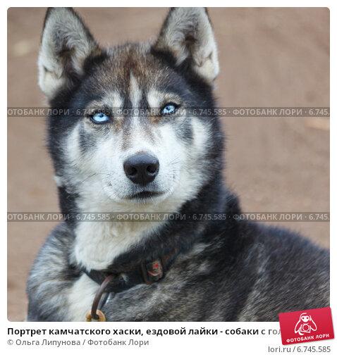 Что такое собаки-хаски