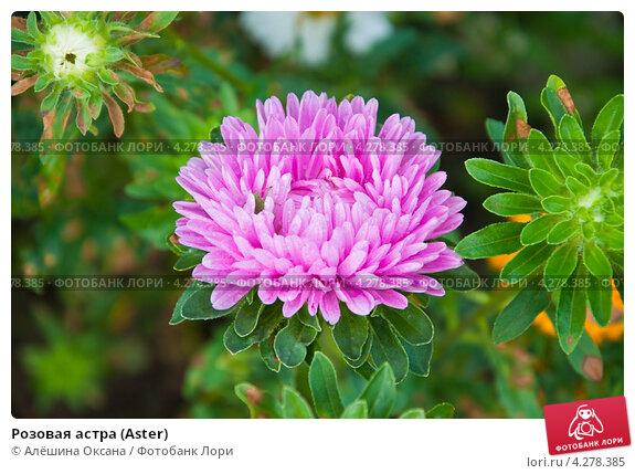 Розовая астра (Aster), фот…