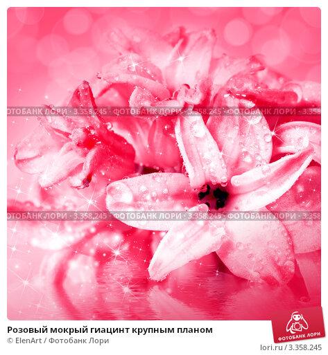 Розовый мокрый гиацинт крупным планом, фото 3358245, снято 6 марта