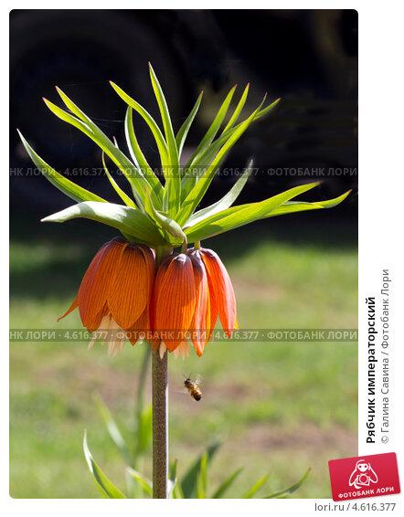 Цветок рябчик цена