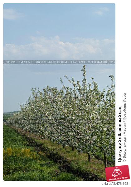 Цветущий яблоневый сад фото 3473693