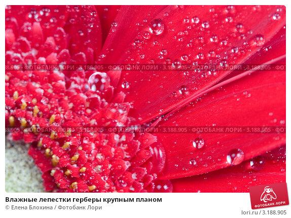 Влажные лепестки герберы крупным планом, фото 3188905, снято 22 марта