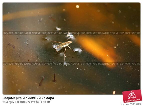 Водомерка и личинки комара, фото 321029.