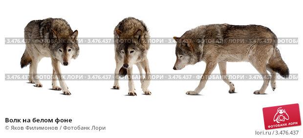 Картинки волки на белом фоне