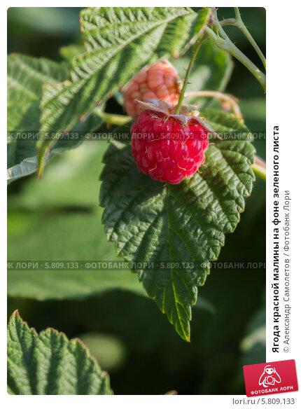 Ягода красной малины на фоне зеленого листа, фото № 5809133, снято 3 июля 2012 г. (c) Александр Самолетов / Фотобанк Лори