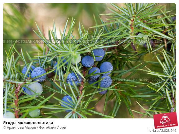 Фото ядовитых ягод чрного цвета