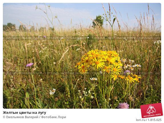 Желтые цветы на лугу, фото № 1815025 ...: lori.ru/1815025