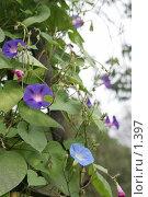 Купить «Голубые и синие ипомеи», эксклюзивное фото № 1397, снято 18 сентября 2005 г. (c) Ирина Терентьева / Фотобанк Лори