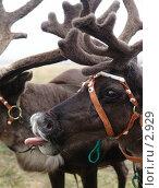 Купить «Олень показывает язык », фото № 2929, снято 15 августа 2005 г. (c) Николай Гернет / Фотобанк Лори