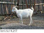 Купить «Белая коза», эксклюзивное фото № 4217, снято 1 мая 2006 г. (c) Ирина Терентьева / Фотобанк Лори