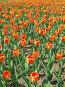Оранжевые тюльпаны, фото № 4393, снято 21 мая 2006 г. (c) Агата Терентьева / Фотобанк Лори