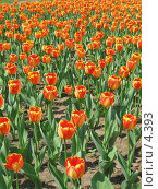 Купить «Оранжевые тюльпаны», фото № 4393, снято 21 мая 2006 г. (c) Агата Терентьева / Фотобанк Лори