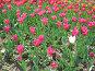 Розовые тюльпаны и один белый, фото № 4401, снято 21 мая 2006 г. (c) Агата Терентьева / Фотобанк Лори