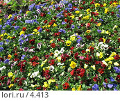 Купить «Разноцветные фиалки», фото № 4413, снято 21 мая 2006 г. (c) Агата Терентьева / Фотобанк Лори