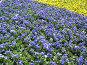 Синие и желые фиалки, фото № 4417, снято 21 мая 2006 г. (c) Агата Терентьева / Фотобанк Лори
