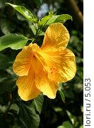 Купить «Желтый гибискус», фото № 5053, снято 1 июля 2006 г. (c) Tamara Kulikova / Фотобанк Лори