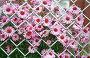 Хризантемы, фото № 5833, снято 26 февраля 2017 г. (c) Юлия Перова / Фотобанк Лори