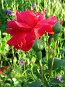 Роза в саду, фото № 7185, снято 11 декабря 2016 г. (c) SummeRain / Фотобанк Лори