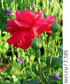 Купить «Роза в саду», фото № 7185, снято 18 августа 2018 г. (c) SummeRain / Фотобанк Лори
