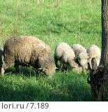 Купить «Маленькие овечки», фото № 7189, снято 18 августа 2018 г. (c) SummeRain / Фотобанк Лори