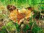 Мухомор красновато-желтого цвета с белыми пятнами на поляне, фото № 8825, снято 20 августа 2017 г. (c) Андрей Жданов / Фотобанк Лори