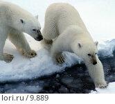 Купить «Белые медведи», фото № 9889, снято 14 августа 2004 г. (c) Ivan / Фотобанк Лори