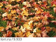 Купить «Осенние листья клена на зеленой траве», фото № 9933, снято 2 октября 2005 г. (c) Cangaroo / Фотобанк Лори